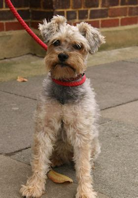 yorkie x schnauzer hartlie 5 year schnauzer cross terrier for adoption