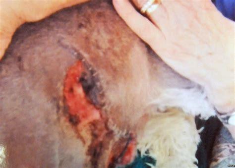 ruptured spleen in dogs injured animals up for pet survivor prize after newsbeat