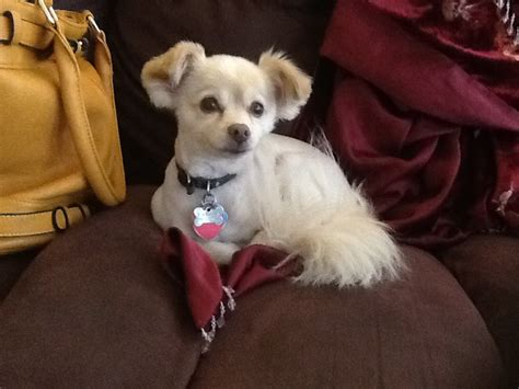 long hair chihuahua haircut image gallery shaved chihuahua