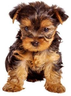 hypoallergenic yorkie 1000 images about hypoallergenic puppies on small hypoallergenic dogs