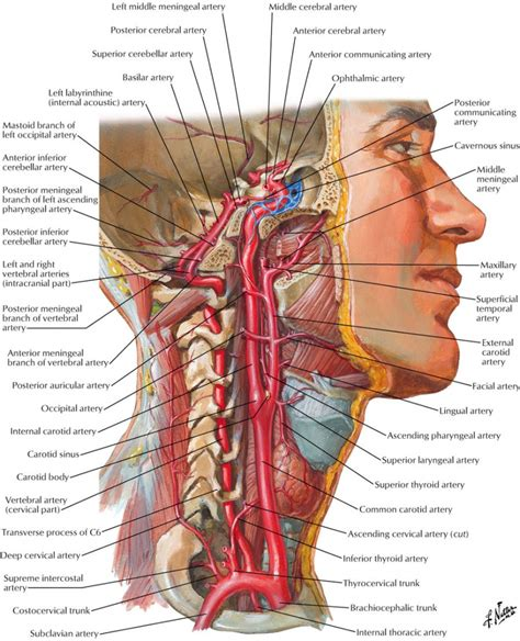 diagram of carotid artery external carotid artery anatomy human anatomy diagram