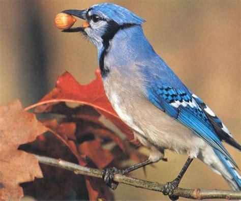 blue jay cyanocitta cristata 아메리카어치 파랑어치 푸른어치