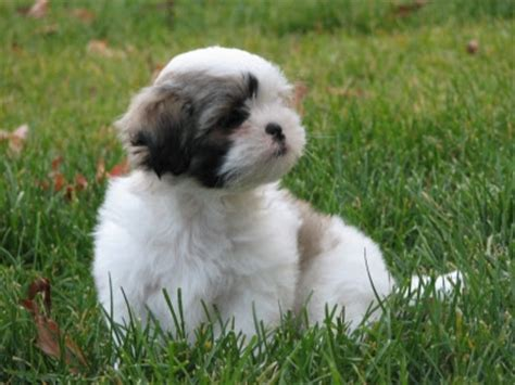shih tzu puppy wallpaper dogs pets shih tzu pictures and wallpapers
