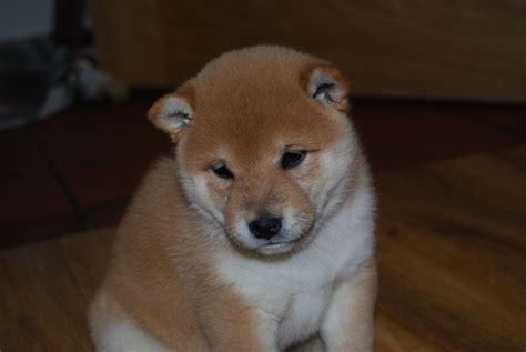 japanese shiba inu stunning japanese shiba inu pups doncaster south pets4homes