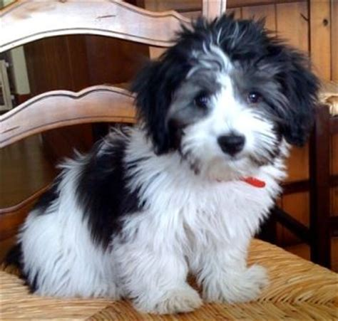 havanese oregon best 25 havanese puppies ideas on cockapoo puppies dogs and