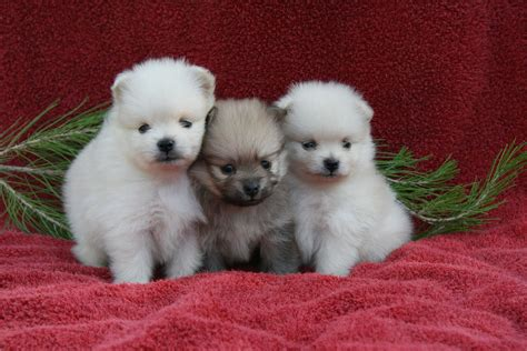 pictures of baby pomeranians 60 baby pomeranians for every minute of your lunch sweet pomeranian