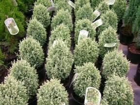Decorative Grasses Full Sun Chamaecyparis Lawsoniana Snow White
