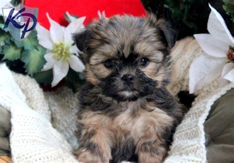 shorkie puppies for sale in michigan 51 best images about shorkie vs morkie on puppys yorkie and carrier