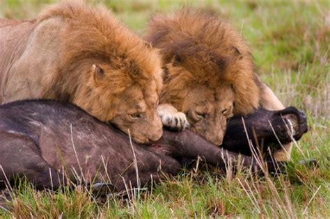 imagenes leones cazando fotos de leones cazando 187 leonpedia