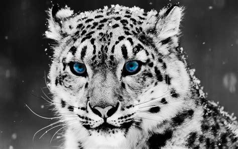 snow blue eye leopard wallpapers hd wallpapers id