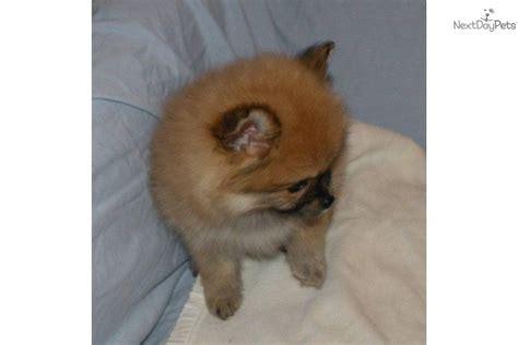 boo pomeranian price pomeranian puppy for sale near battle creek michigan f3a1cd8a 9c51