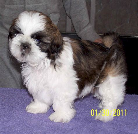 shih tzu breeders indiana akc shih tzu puppies in indiana