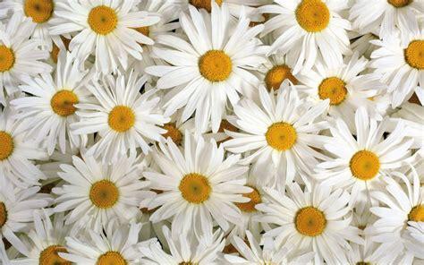 wallpaper flower white white flowers wallpaper 1680x1050 38288
