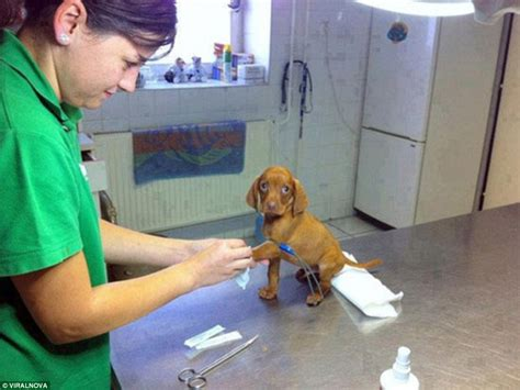 when to take puppy to vet photos show traumatised pets being taken to the vet or refusing to go daily mail