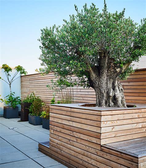sichtschutz mit pflanzen 1230 olivenbaum dachterrasse tulpen baum