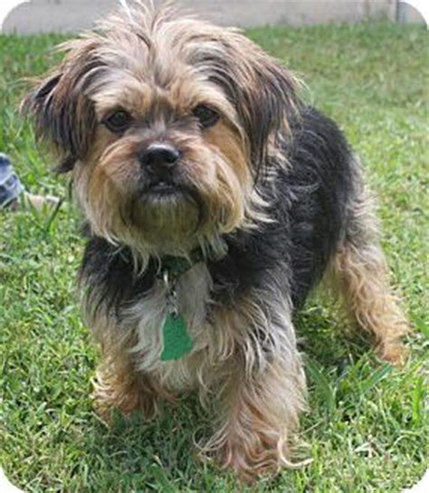 yorkie shih tzu mix for adoption toronto on shih tzu yorkie terrier mix meet a for adoption