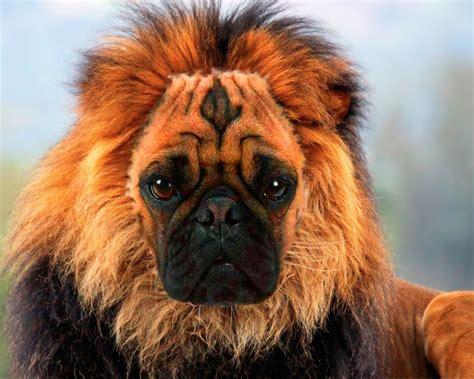 pugs lions animal mashups anthony s eportfolio