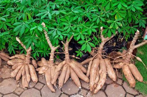 yucca root vegetable cassava 260