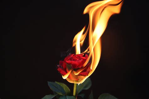 elements of a rose fire by dieden on deviantart