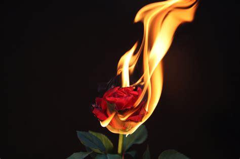 elements of a rose fire by dieden on deviantart