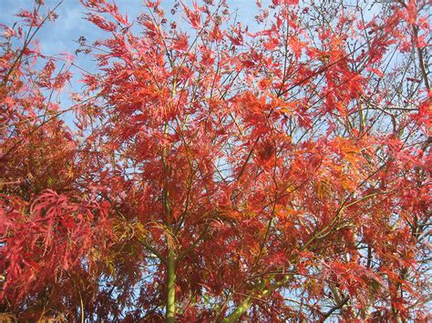 japanese maple acer palmatum dissectum seiryu 171 chew valley trees