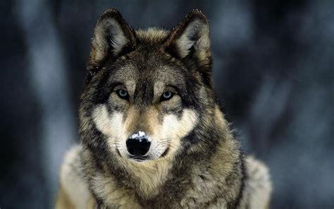 imagenes hd lobos lobos fondos de pantalla de lobos wallpapers hd