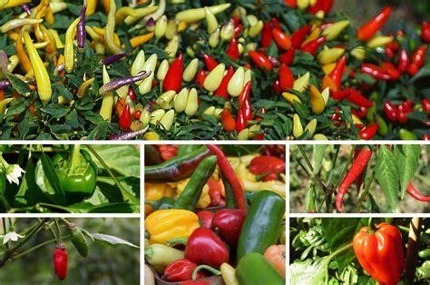 Garten Pflanzen by Paprika Im Garten Anbauen Pflegen Ernten