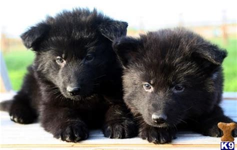 haired german shepherd puppies for adoption german shepherd puppies for sale in new breeds picture