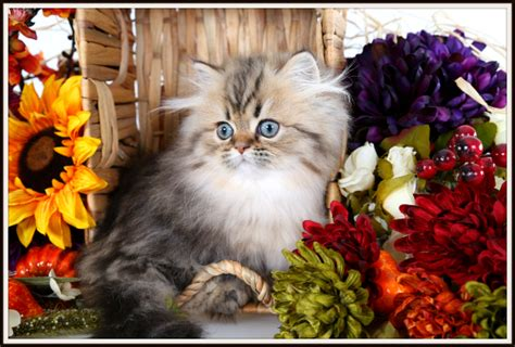 Rug Hugger Kittens For Sale by Rug Hugger Kitten For Sale Ultra