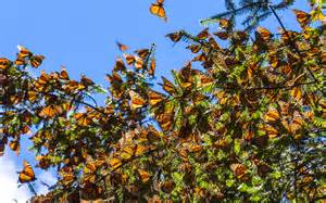 Even more monarchs are heading to mexico this year than last travel