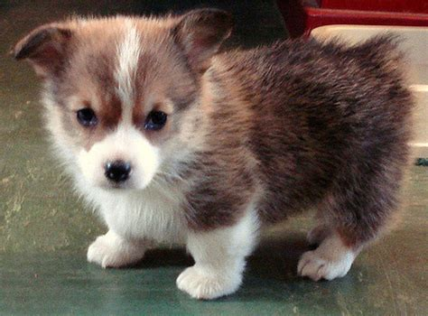 pictures of corgi puppies corgi puppy photo png