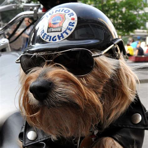 yorkie on motorcycle the harley davidson motorcycle cat animal pics and info p