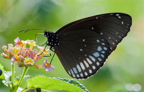 black butterfly get to know the symbolism and meaning of a black butterfly