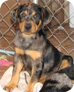 catahoula rottweiler mix gumbo adopted puppy cedar creek tx rottweiler catahoula leopard mix