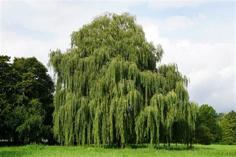 weeping trees weeping willow tree for sale 13 99 order now