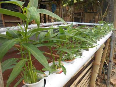 Ram Kawat Ijo cara menanam kangkung akuaponik pada kolam lele terpal daun ijo