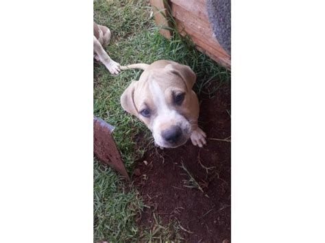pitbull puppies for sale in delaware american pitbull terrier puppies for sale pretoria