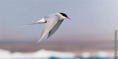 amazing arctic tern watchtower  library
