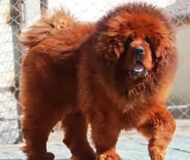 Red tibetan mastiff tibetan mastiff pictures most expensive dog