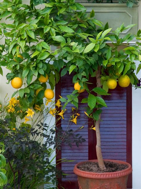planting potted fruit trees grow in pots citrus trees hgtv