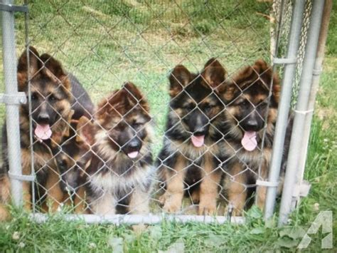 haired black and german shepherd puppies for sale 2 litters akc german shepherd puppies hair coat black for sale in