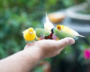 canarino alimentazione alimentazione per i canarini appena nati e per i genitori