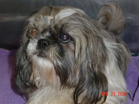 shih tzu eye shih tzu pop out breeds picture
