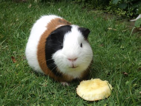 guinea pig breeds hd wallpaper animals wallpapers