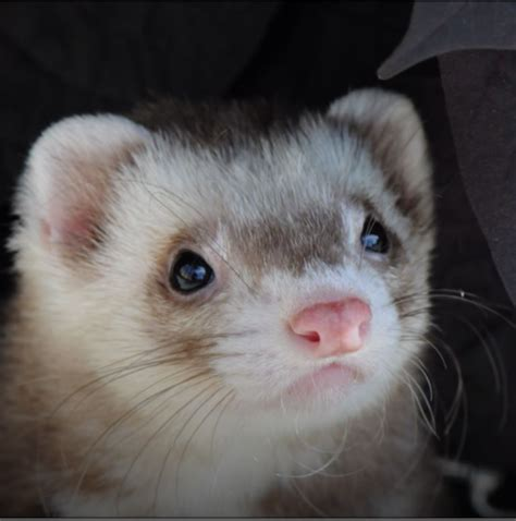 back legs weak suddenly my ferret threw up causes of vomiting in ferrets my ferret pet