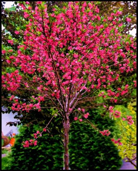 flowering shrubs ontario marion jarvie flowering a small fruitless tree