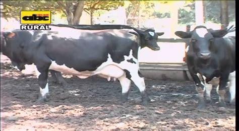 imagenes mamonas de vacas manejo de vacas lecheras pre 241 adas youtube