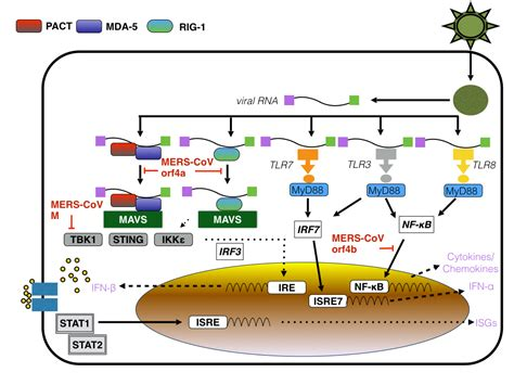m protein influenza virology tidbits mers cov and antiviral singling of