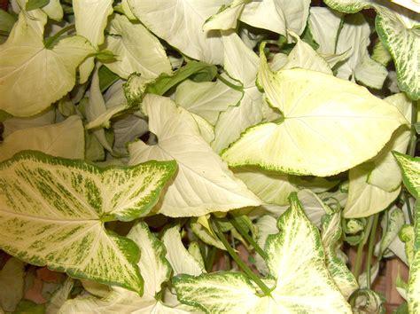 common houseplants arrowhead plant guide syngonium podophyllum arrowhead plant