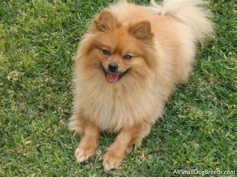 small pomeranian the pomeranian pomeranian small dogs